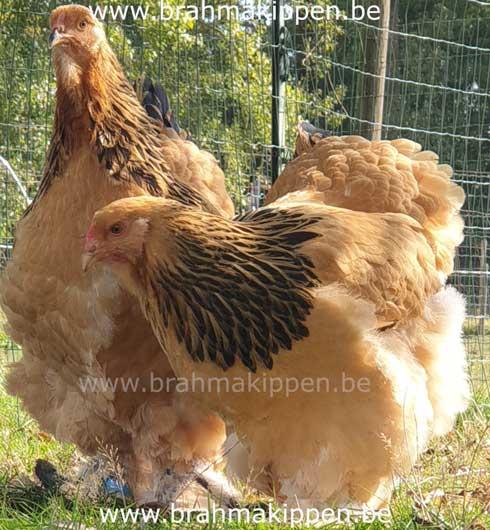 brahma-columbia-buff-hennen2